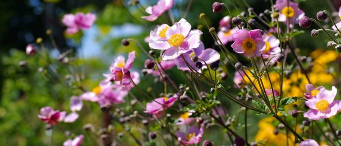 Featured image for 'September Beauties in the Herbaceous Garden'