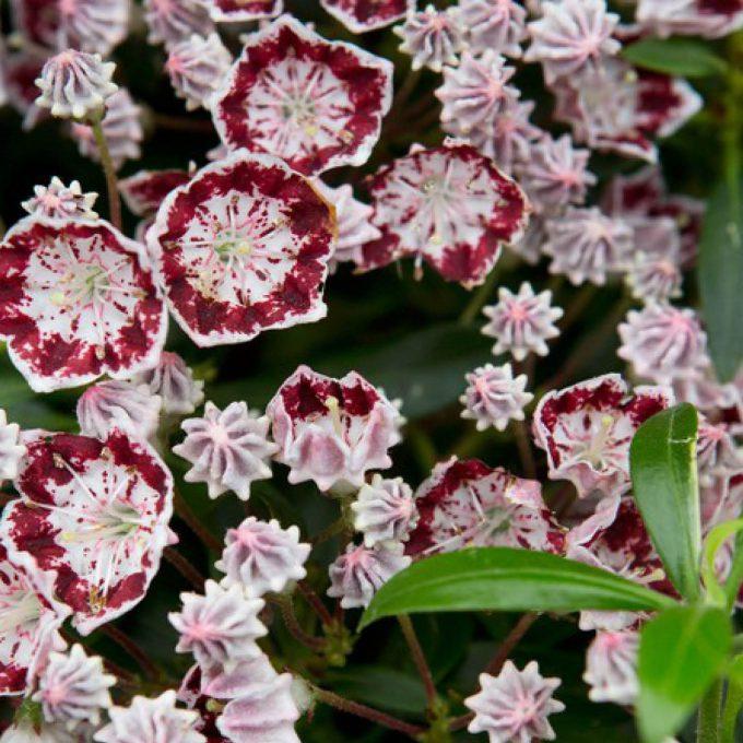 Kalmia latifolia 'Minuet' (Calico Bush)