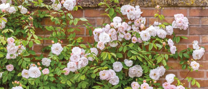 Featured image for 'Recommended Roses'