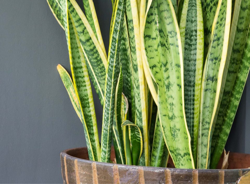 Sansevieria (Mother in Law's Tongue)