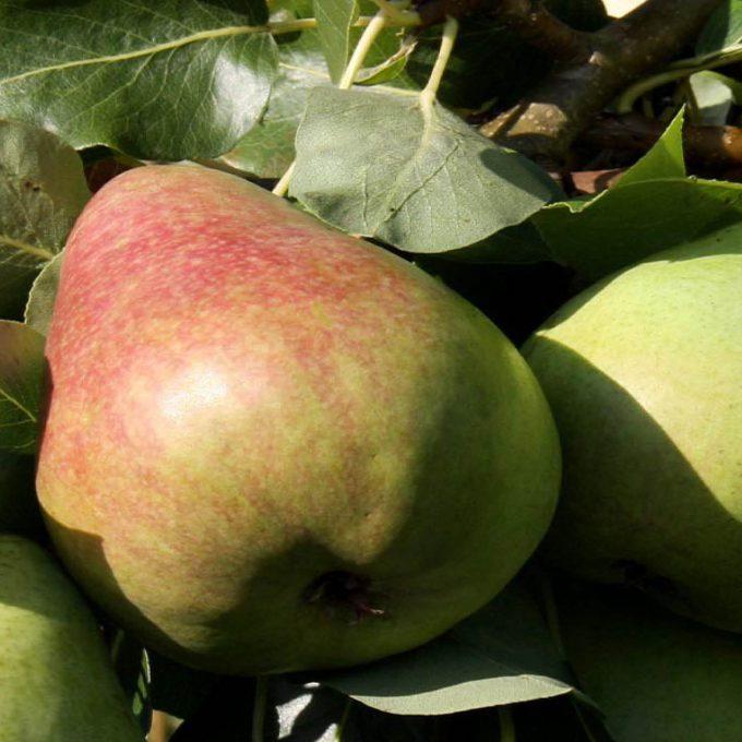 Pear 'Obelisk'