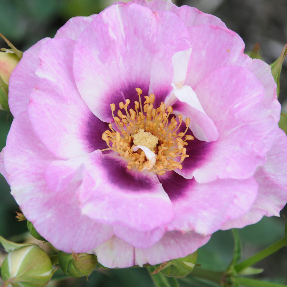 Rosa 'Eyes for You'