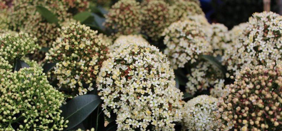 Skimmia japonica 'Fragrant Cloud'