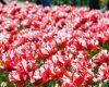 Tulip 'Estella Rijnveld'