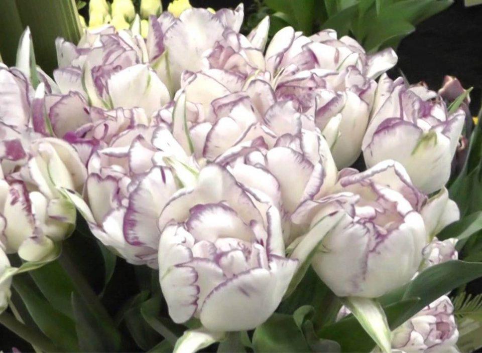 Tulip 'Shirley Double'