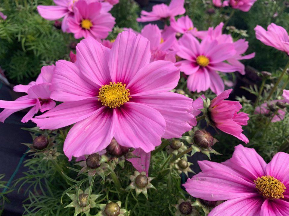 Cosmos 'Pink Blush'