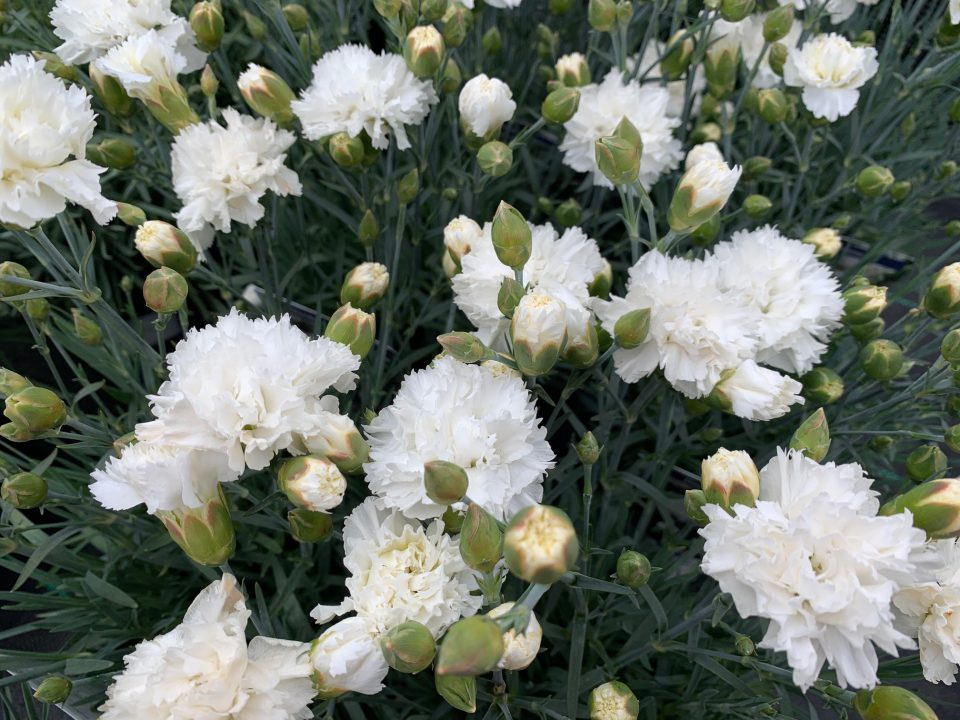 Dianthus 'Memories' brings a clean edge to the herbaceous border