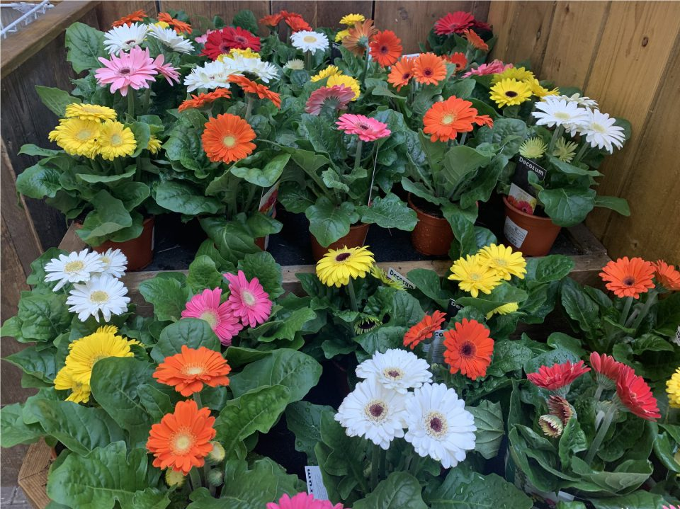 Gerbera houseplants at Coolings The Gardener's Garden Centre