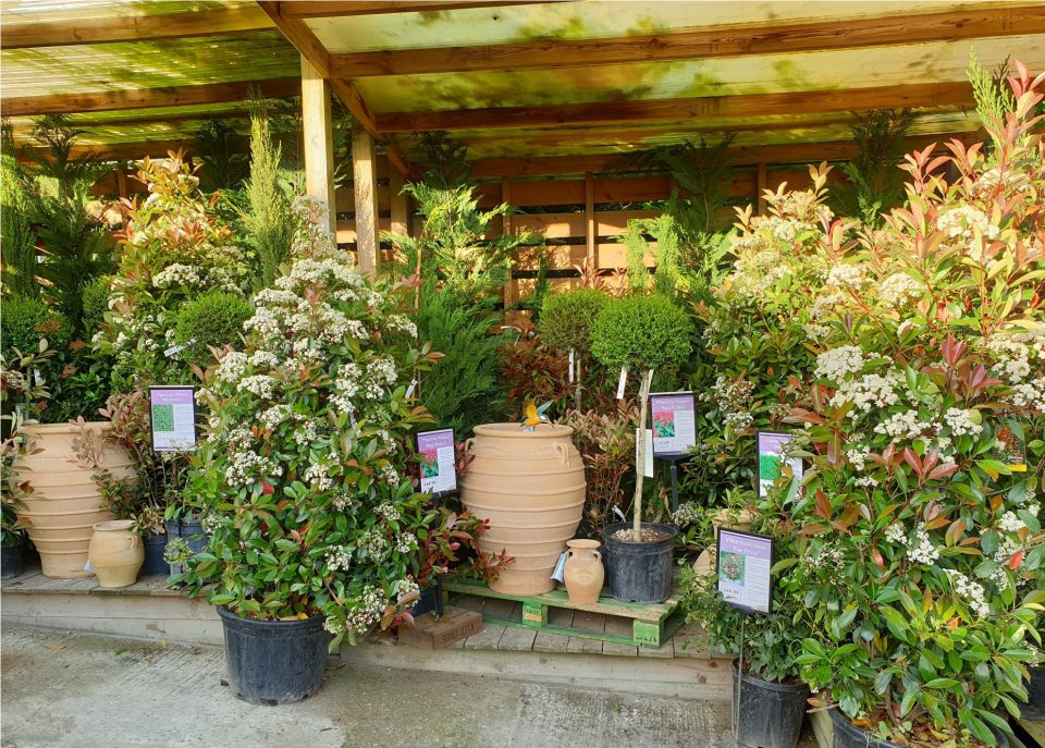 Specimen plants at Coolings Wych Cross Garden Centre