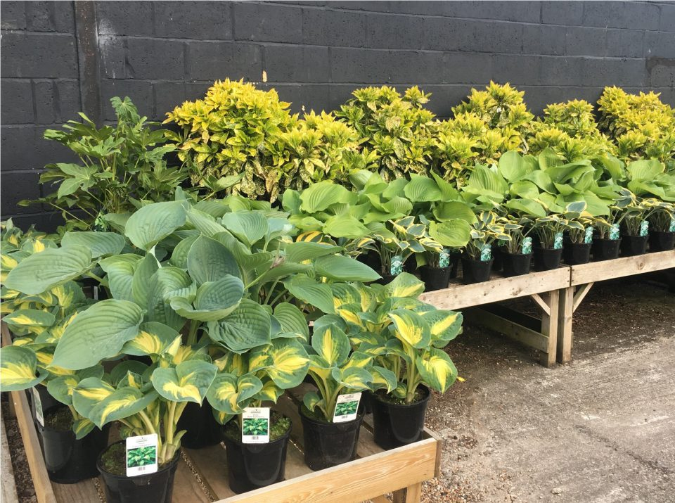 Hostas at Coolings Potted Garden Nursery