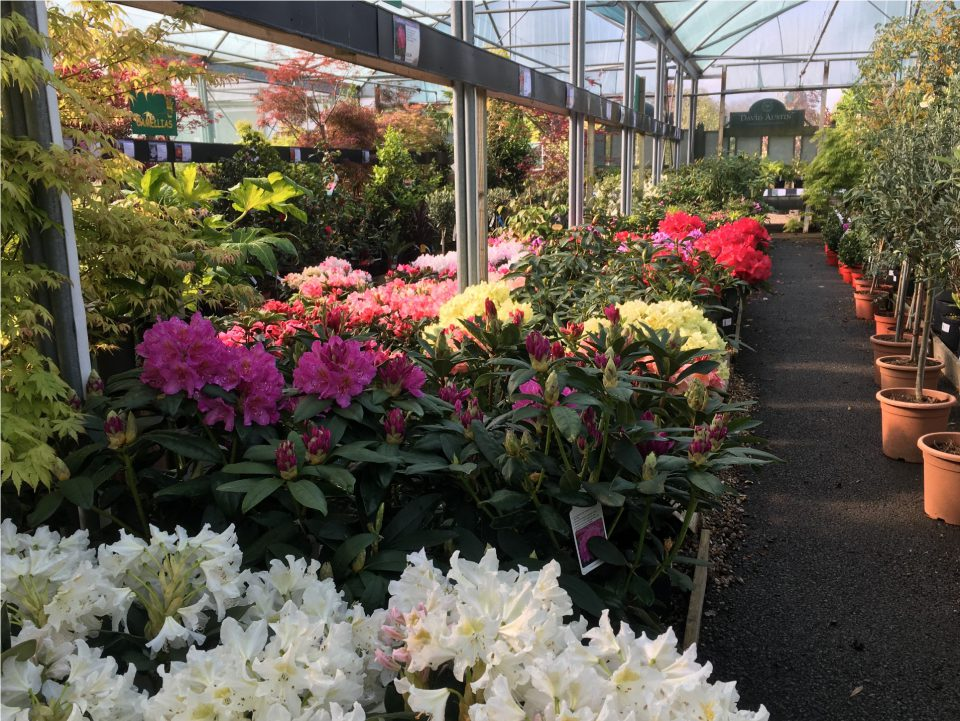 Rhododendrons at Coolings Potted Garden Nursery