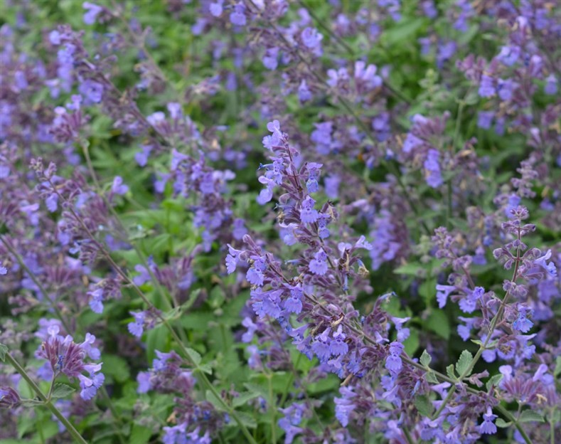 Nepeta racemosa 'Walker's Low' (AGM)