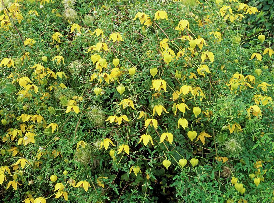 Clematis tangutica group