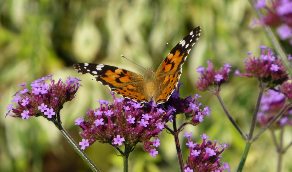Verbena bonariensis (AGM) with a painted lady butterfly