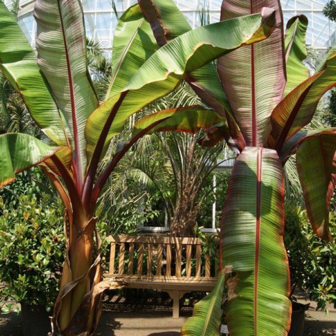 Banana Musa 'Maurelli'