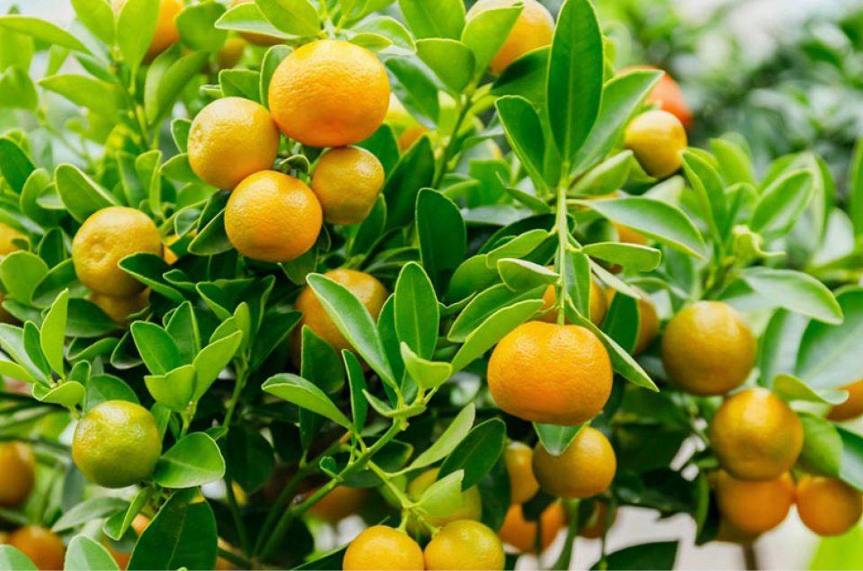 Citrus 'Calamondin' (in-store only)