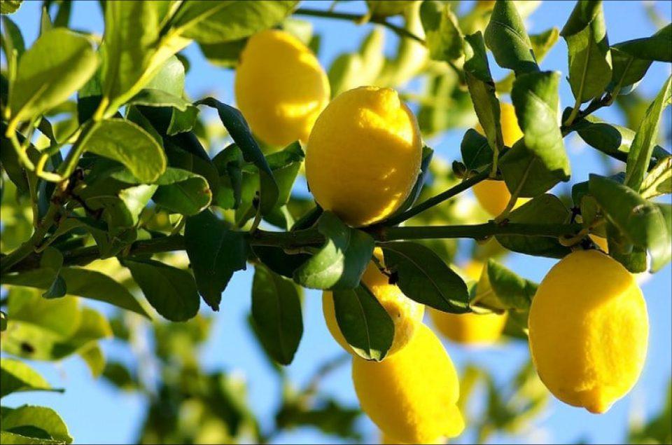 Citrus Lemon (Mini-Stem)