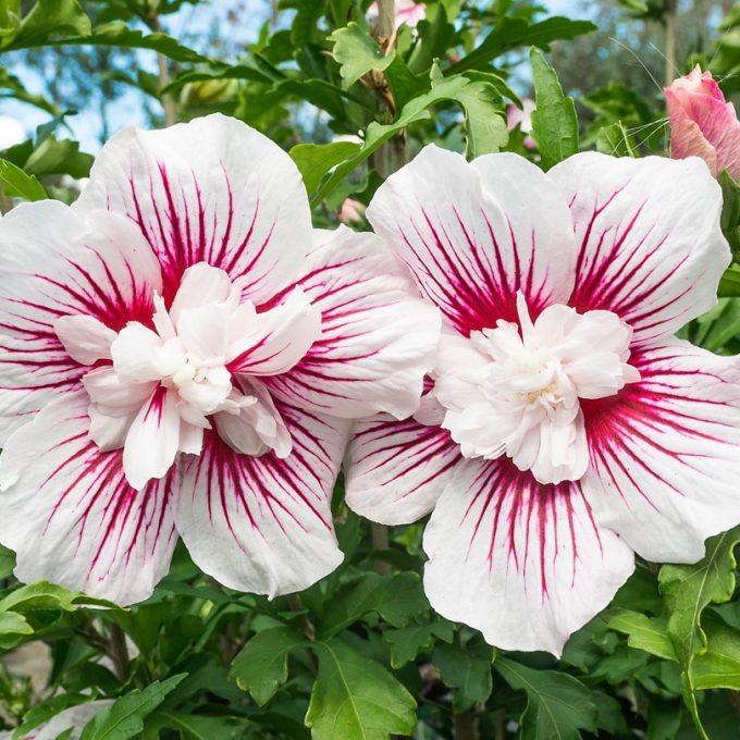 Hibiscus syriacus 'Starbust Chiffon'