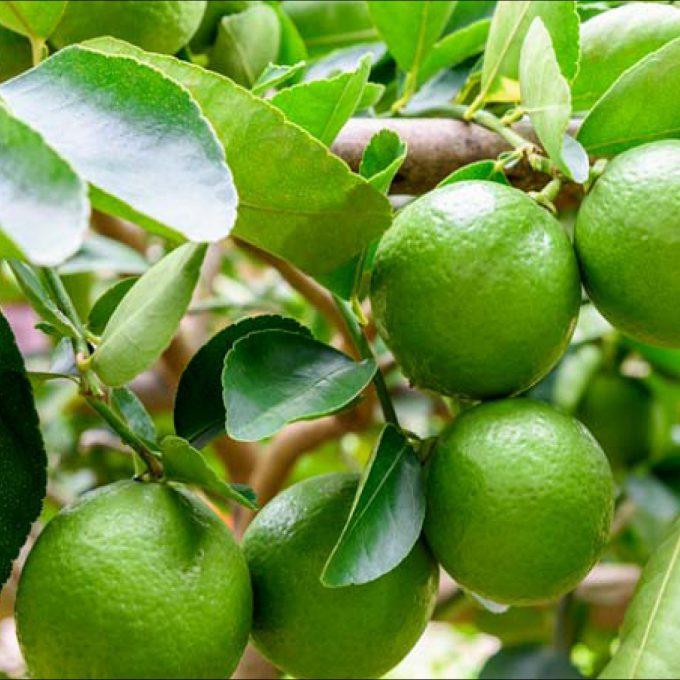 Citrus 'Tahiti Lime'