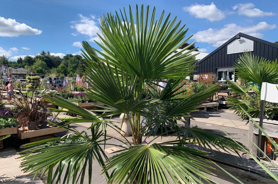 Trachycarpus fortunei (AGM) / Chamaerops Excelsa