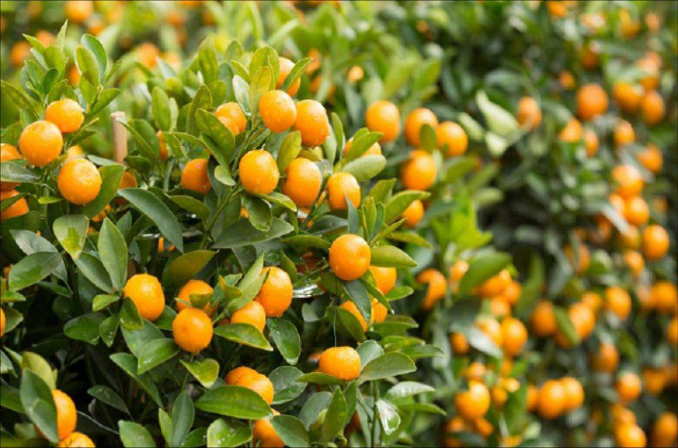 Citrus 'Kumquat' (in-store only)