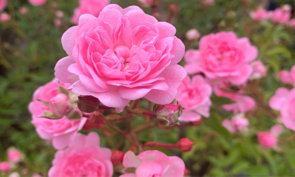 Rosa 'The Fairy' (Shrub rose) (AGM)