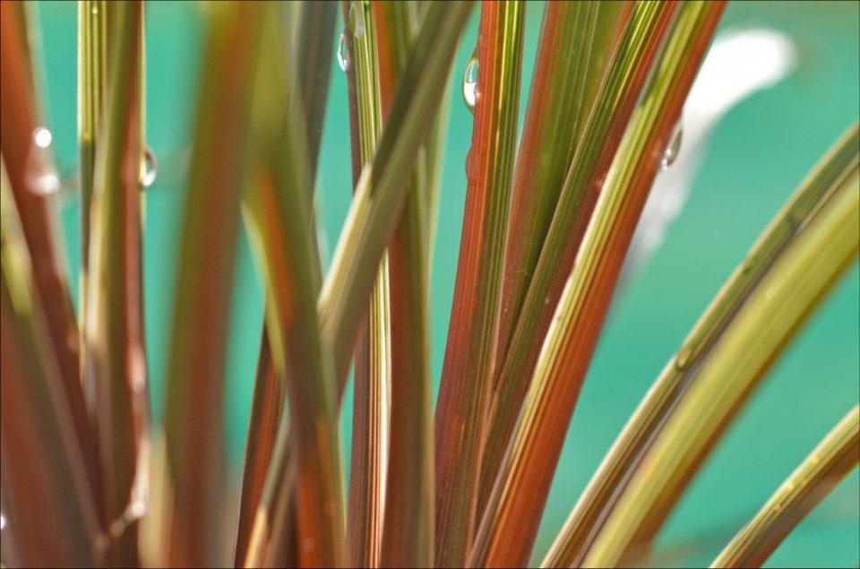 Cordyline australis 'Peko'