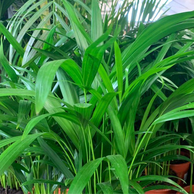 Dypsis lutescens 'Areca Palm'