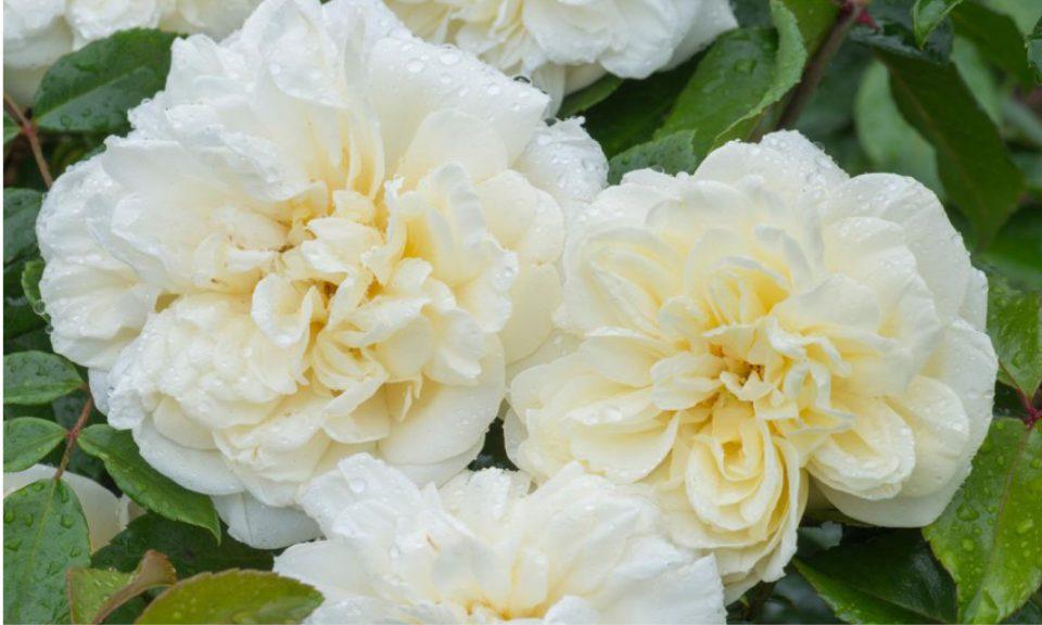 Rosa 'Albéric Barbier' (Climbing rose) (AGM)