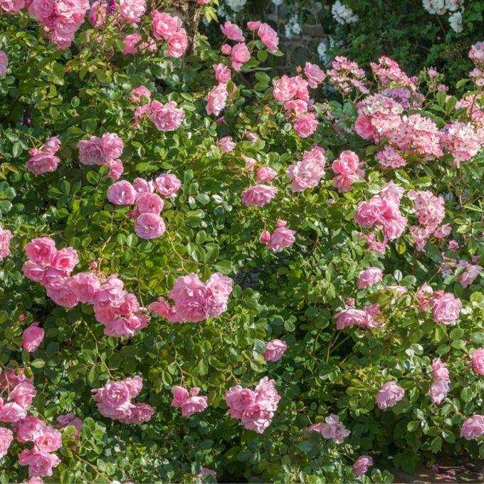 Rosa 'Bonica' (Shrub rose) (AGM)