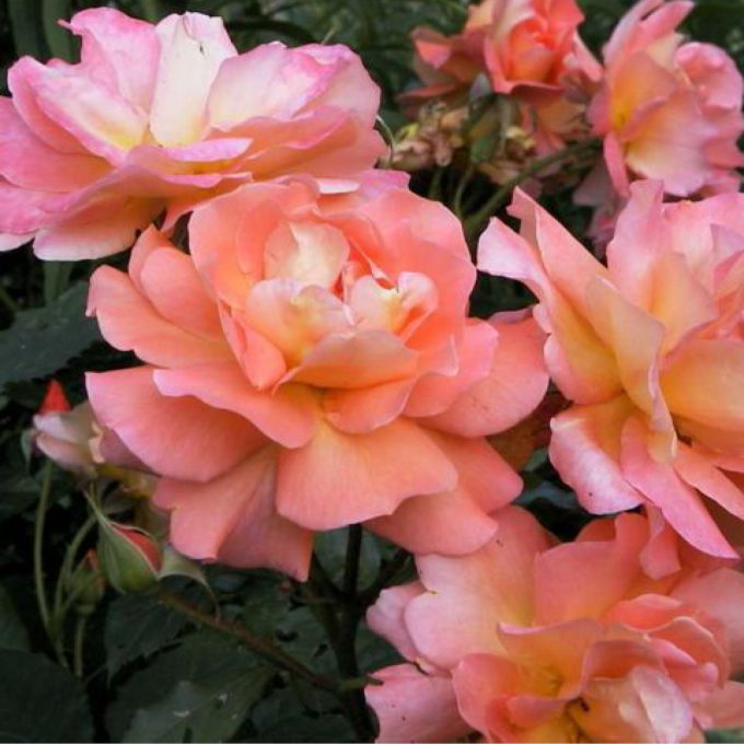 Rosa 'Compassion' (Climbing rose) (AGM)