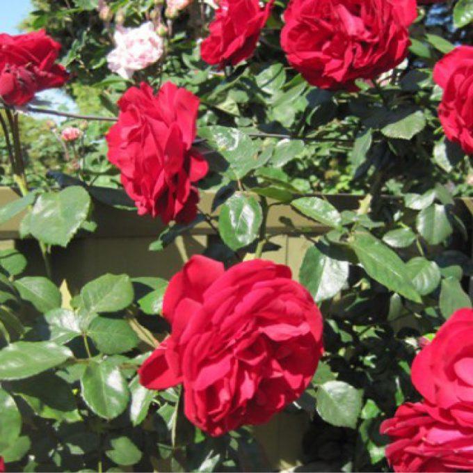Rosa 'Dublin Bay' (Climbing rose) (AGM)