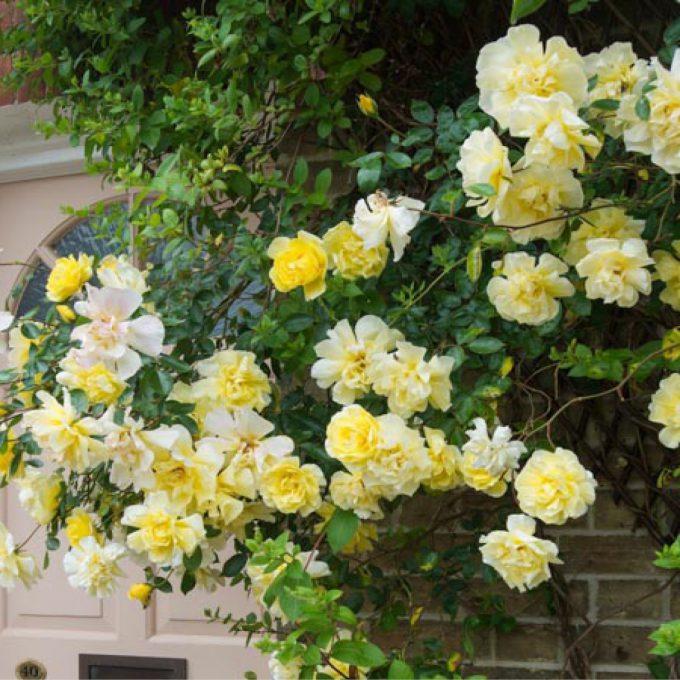 Rosa 'Golden Showers' (Climbing rose)