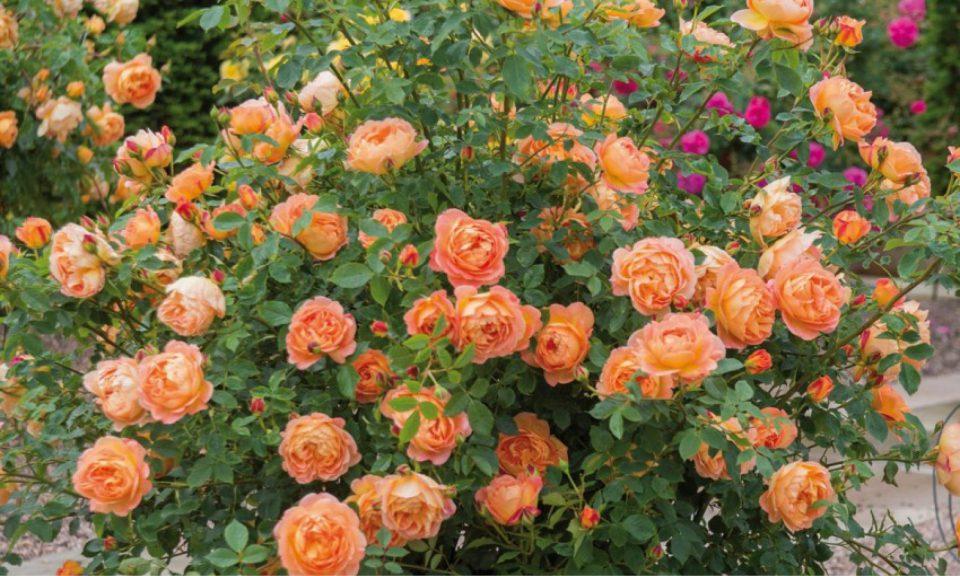 Rosa 'Lady of Shalott' (Shrub rose)