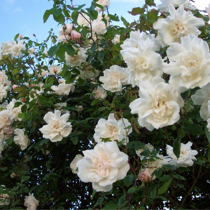 Rosa 'Madame Alfred Carrière' (Climbing rose) (AGM)