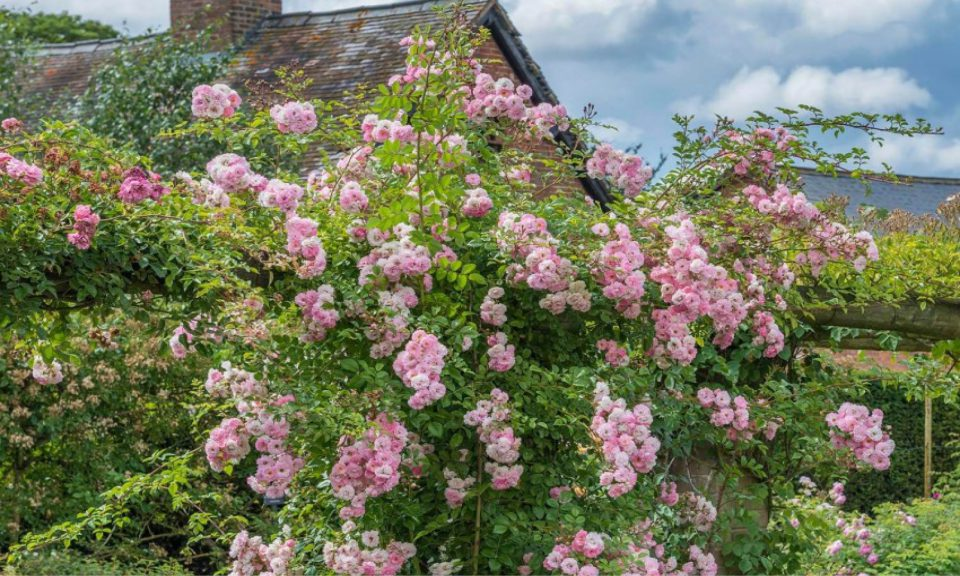 Rosa 'Maid of Kent' (Climbing rose)