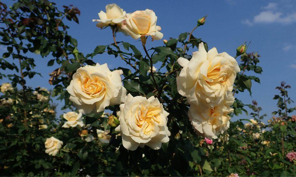Rosa 'Sunny Sky' (Hybrid Tea)