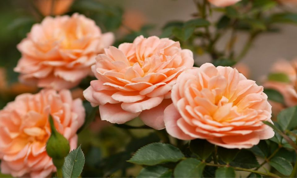 Rosa 'Sweet Dreams' (Patio rose)