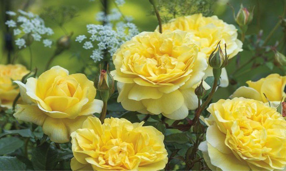 Rosa 'The Poet's Wife' (Shrub rose)