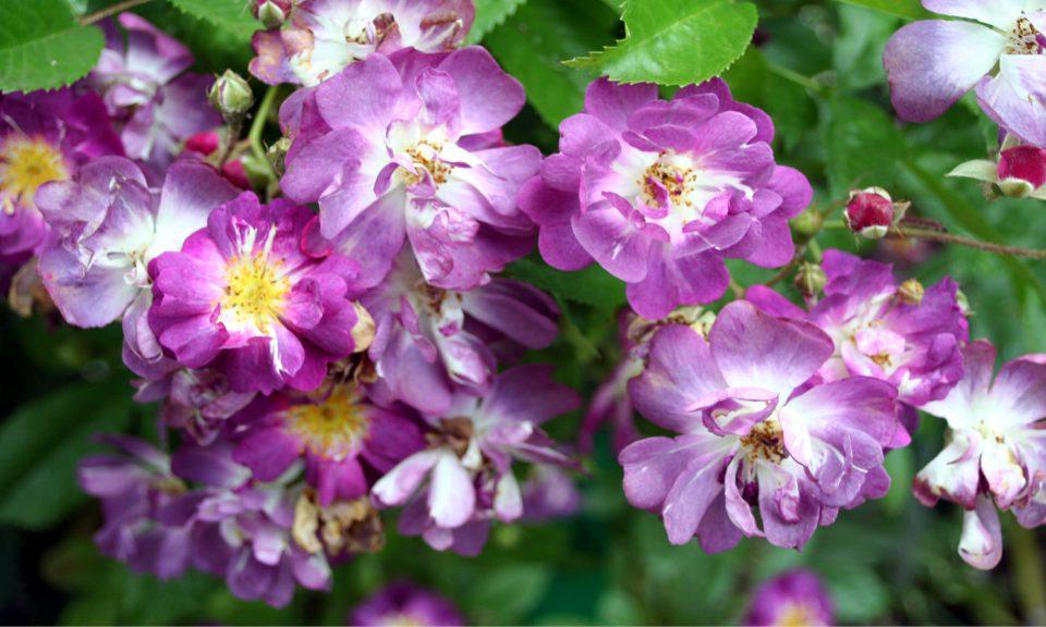 Rosa 'Veilchenblau' (Rambling rose) (AGM)