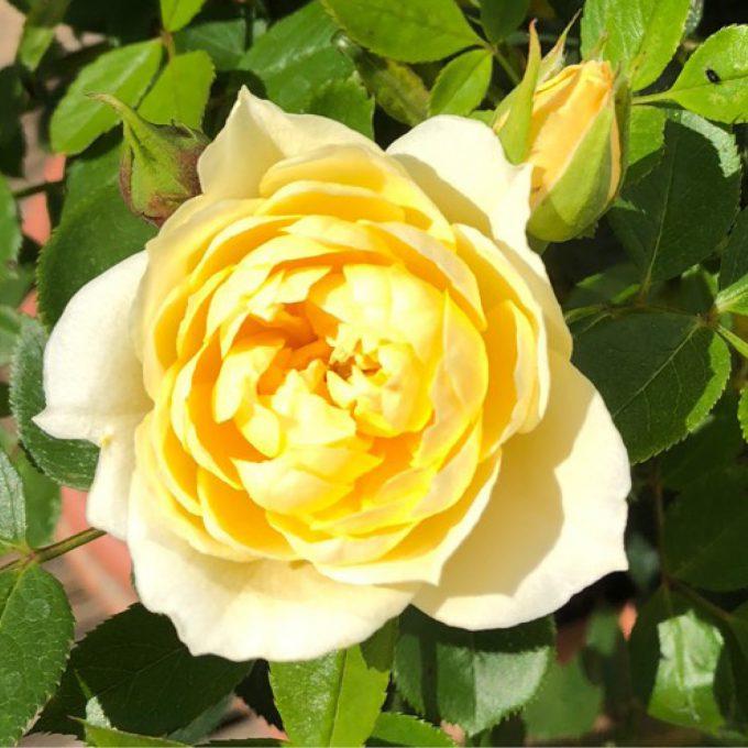 Rosa 'Sweet Memories' (Patio rose)