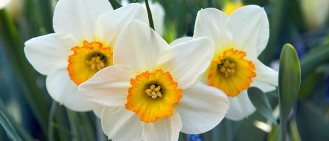 Featured image for 'Dazzling Daffodils'