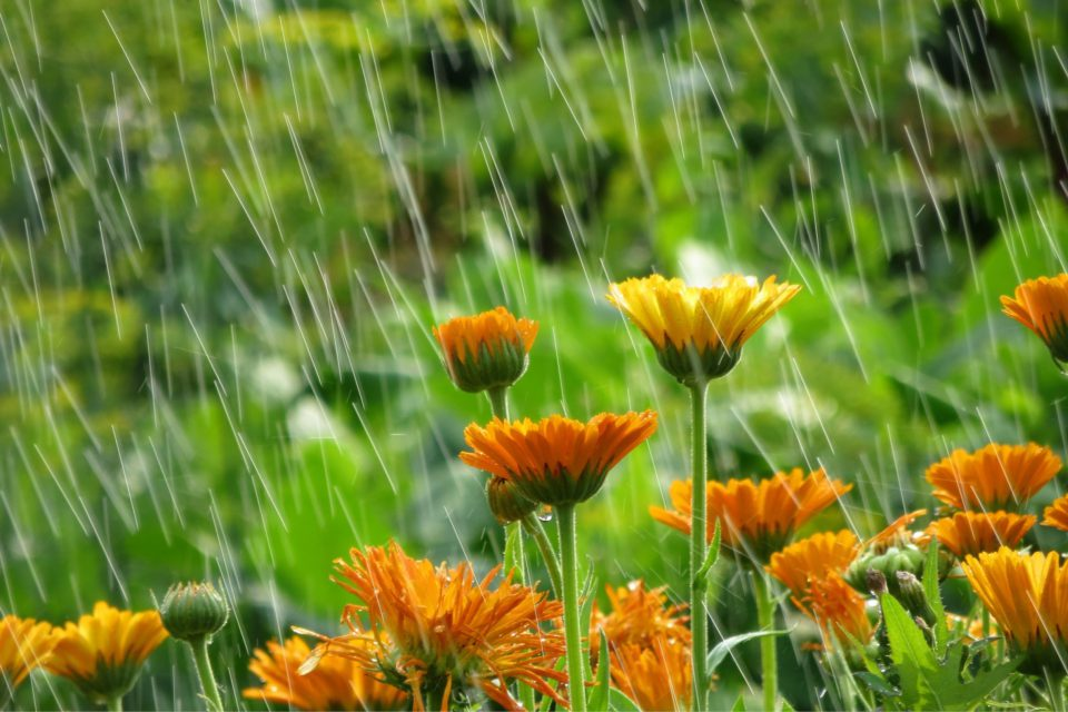 If it has rained recently, plants will have already had a drink