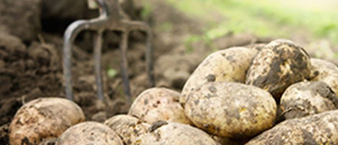 Featured image for 'Potatoes Unearthed'