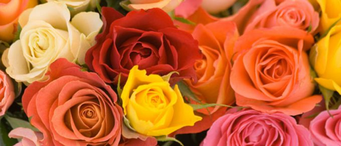 Featured image for 'A Dozen Rose Fun Facts'