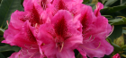 Rhododendron and Azalea Guide