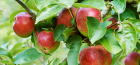 Fruit Tree Rootstock Guide