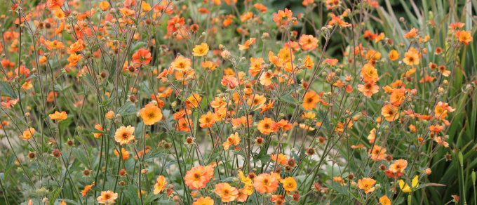 Featured image for 'Growing Geums'
