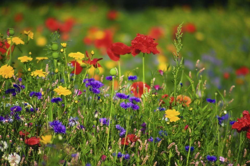 Wildflowers are very attractive to garden wildlife