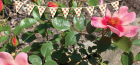 Grow With Us – Planting A Potted Rose